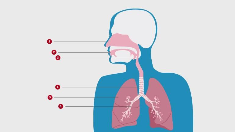 დიაგრამა გვიჩვენებს როგორაა მოწყობილი სასუნთქი სისტემა